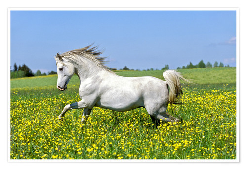 Premium poster Galloping Arab stallion