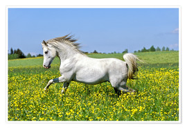 Poster  Galloping Arab stallion - imageBROKER