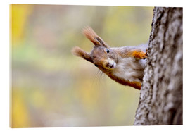 Acrylic print  Red Squirrel in an urban park in autumne - imageBROKER