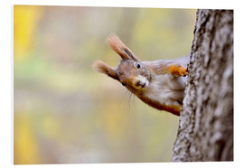 Foam board print  Red Squirrel in an urban park in autumne - imageBROKER