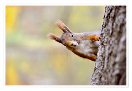 Premium poster  Red Squirrel in an urban park in autumne - imageBROKER