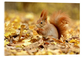 Acrylic print  Red Squirrel in an urban park in autumn - imageBROKER