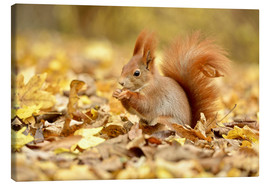 Canvas print  Red Squirrel in an urban park in autumn - imageBROKER