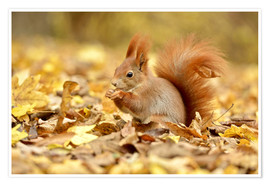 Premium poster  Red Squirrel in an urban park in autumn - imageBROKER