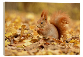 Wood print  Red Squirrel in an urban park in autumn - imageBROKER