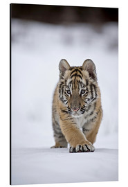 Alu-Dibond  Siberian Tiger cub, walking on snow - FLPA