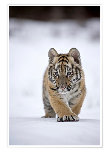 Premium poster Siberian Tiger cub, walking on snow