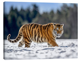 Canvas  Siberian tiger in deep snow - imageBROKER