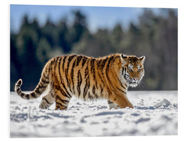 Foam board print  Siberian tiger in deep snow - imageBROKER