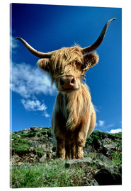 Acrylic glass  Scottish highland cattle - Duncan Usher