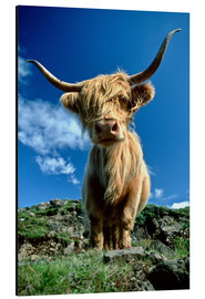 Alu-Dibond  Scottish highland cattle - Duncan Usher