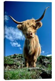 Canvas  Scottish highland cattle - Duncan Usher