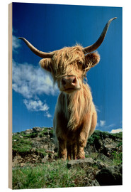 Wood print  Scottish highland cattle - Duncan Usher