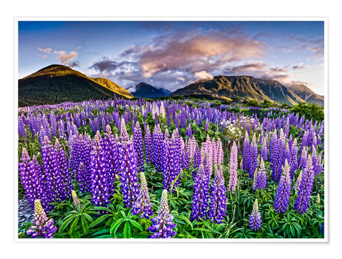 Premium poster Lupines at Arthur's Pas