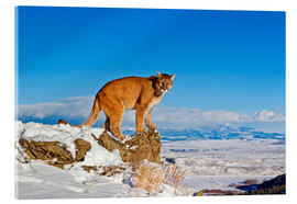 Acrylic glass  Puma standing on rock in snow, Rocky Mountains - FLPA