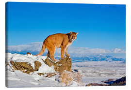 Canvas print  Puma standing on rock in snow, Rocky Mountains - FLPA