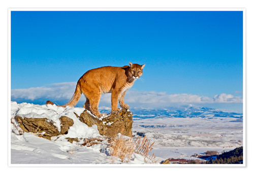 Premium poster Puma standing on rock in snow, Rocky Mountains