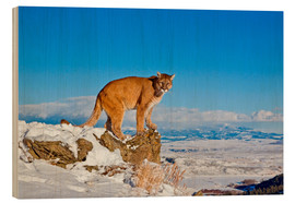 Wood  Puma standing on rock in snow, Rocky Mountains - FLPA