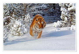 Premium poster Siberian Tiger walking in snow