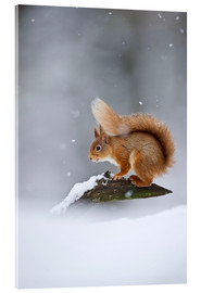 Acrylic print  Eurasian Red Squirrel standing on branch in snow - FLPA