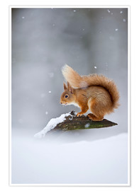 Premium poster  Eurasian Red Squirrel standing on branch in snow - FLPA