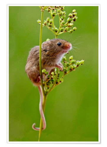 Premium poster Harvest Mouse climbing Meadowsweet