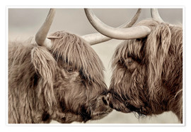 Poster  Two Scottish highland cattle - imageBROKER
