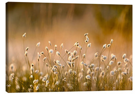 Canvas print  Common Cotton-grass backlit at dawn - FLPA