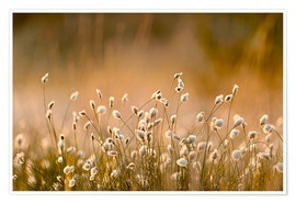 Poster Common Cotton-grass backlit at dawn