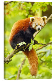 Canvas print  Red Panda sitting in tree - imageBROKER