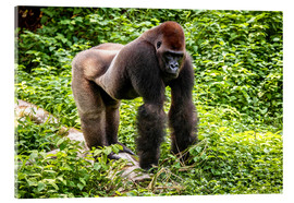 Acrylic glass  Western lowland gorilla, male in enclosure - imageBROKER
