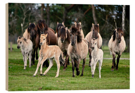 Wood print  Dülmen pony herd with foals - imageBROKER