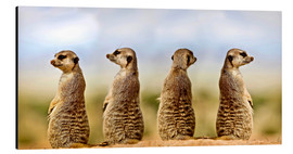 Alu-Dibond  Four meerkats - four thoughts - Gérard Lacz