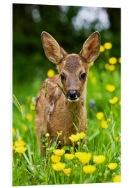 Foam board print  Roe Deer fawn in flower meadow, Normandy - Gérard Lacz