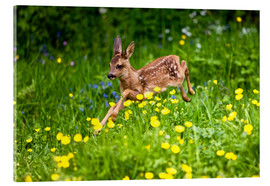Acrylic glass  Roe Deer fawn running in flower meadow, Normandy - Gérard Lacz