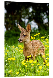 Acrylic print  Roe Deer fawn in flower meadow, Normandy - Gérard Lacz