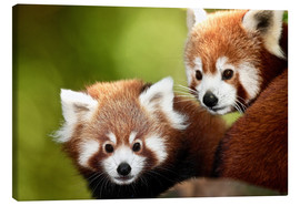 Canvas print  Red Pandas - Gérard Lacz