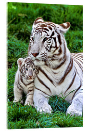 Acrylic print  White tiger mother with child - Gérard Lacz