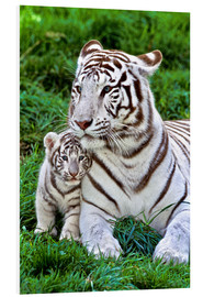 Foam board print  White tiger mother with child - Gérard Lacz