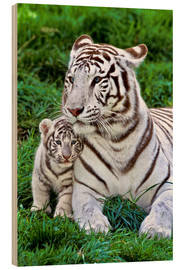 Wood print  White tiger mother with child - Gérard Lacz