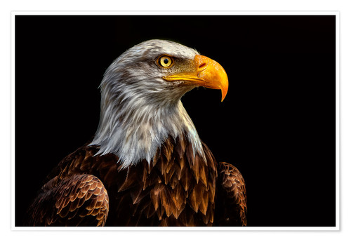 Premium poster  bald eagles