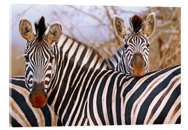 Acrylic glass  Zebra friendship, South Africa - wiw