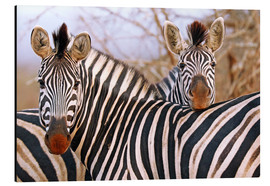 Alu-Dibond  Zebra friendship, South Africa - wiw