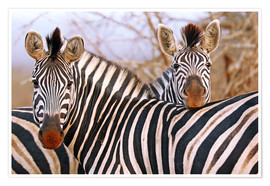 Premium poster Zebra friendship, South Africa