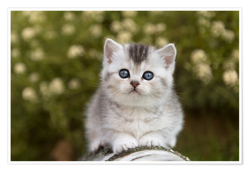 Premium poster British Shorthair Kitten 15