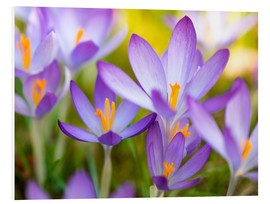 Foam board print  crocuses - Bieberchen