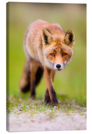 Canvas print  red fox - Moqui, Daniela Beyer