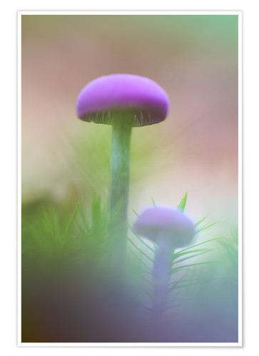 Premium poster Soft macro of two purple mushrooms