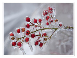 Premium poster  Rosehip covered with ice