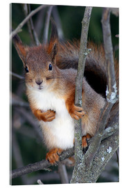 Acrylic print  Squirrel guards his tree